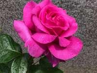 Trandafir roz 2.