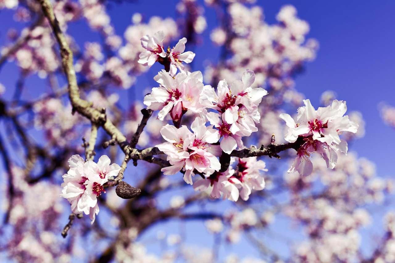 mandulafa teljes virágzásban